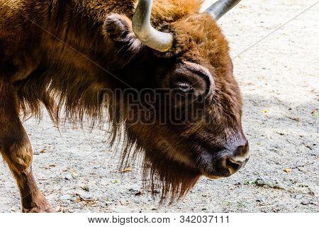 Auroch (bison Bonasus) In Corral At The Farm. Closeup Of Auroch Muzzle