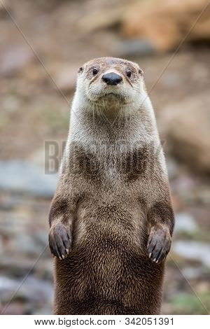 North American River Otter, Lontra Canadensis, Adorable, Lovable, Friendly And Clever, Looks Straigh