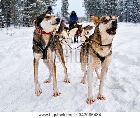 People On Husky Dogs Sledding In Winter Forest Northern Finland Reflex