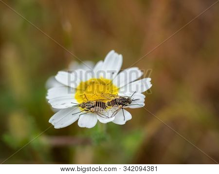 Flies Copulating On A Daisy. Macro Photography.