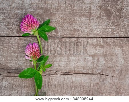 Pink Clover Flowers On A Wooden Rustic Background. Harvesting Of Fresh Herbs In The Garden.