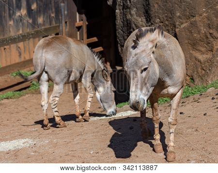 The Somali Wild Ass Is A Subspecies Of The African Wild Ass. It Is Found In Somalia. Equus Africanus