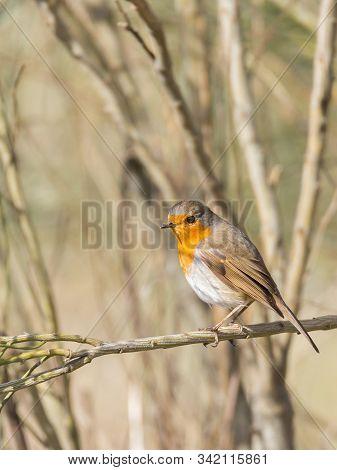 European Robin In Their Natural Environment. Fauna.
