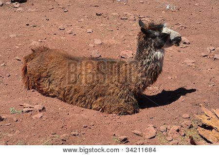 Llama sitting down