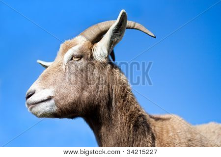 Goat Side Profile With Blue Sky Background