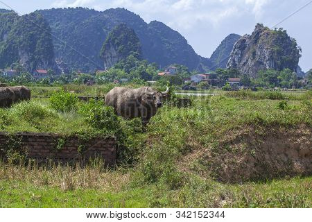 Cows And Bulls Grazing On A Green Field. Domestic Animals.asian Buffalo, A Herd Of Bulls Graze In Th