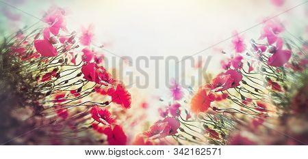 Poppy Flower, Wild Red Poppy Flower In Meadow Lit By Sunlight