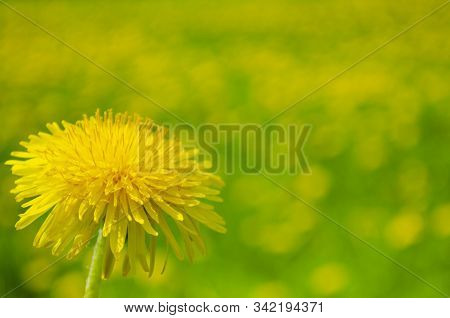 One Dandelion In The Lower Left Corner Close-up Against A Yellow-green Bokeh