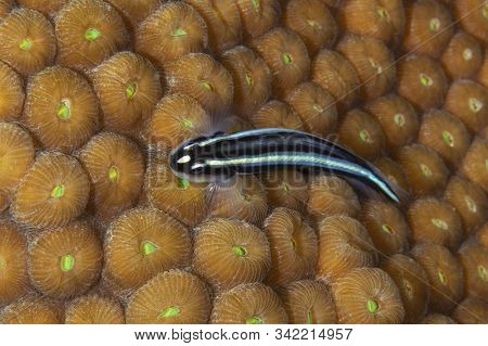 Barsnout Goby (elacatinus Illecebrosus) Over A Coral Head - Cozumel