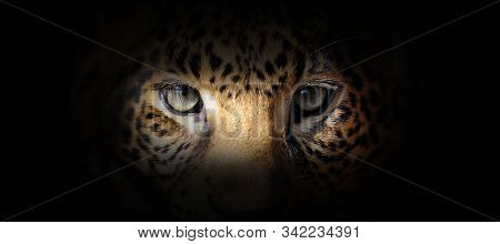 Leopard Portrait On A Black Background. View From The Darkness