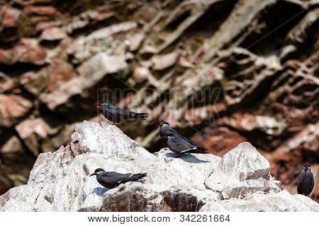 Birds Of Tern Inca On The Island Of Ballestas Islands Of Paracas Within In The Ballestas Islands In