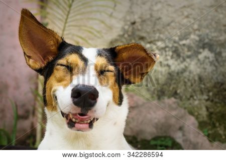 Grinning Laughing Dog With Closed Eyes And White, Orange And Black Spots Lying In Natural Garden
