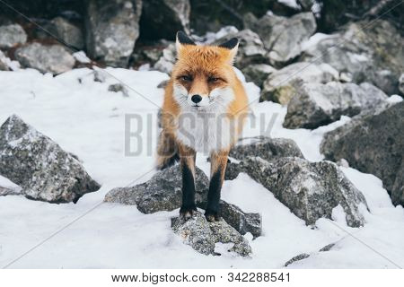 Wild Red Fox Standing On The Rock In High Tatra Mountains, Slovakia