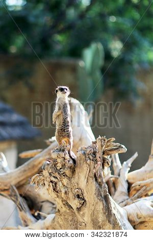 One Little Hairy Meerkat Sit On Long Dry Tree, Class Suricate. Meerkat Of Beautifully Arched Body, S
