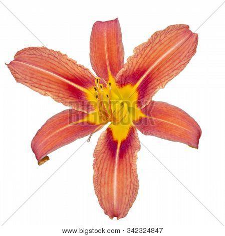 Single Flower Daylily Brown-yellow. Isolate On White Background. Hemerocallis Fulva