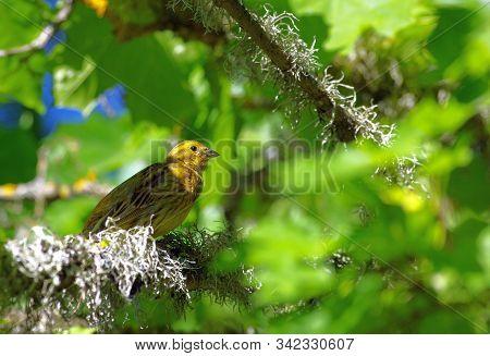 Yellowhammer Bird Wondering Around The Branches In Estonia