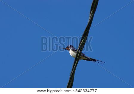 European Barn Swallow Sitting During A Sunny Day In Estonia
