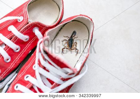 Scorpion Inside A Sneaker. Venomous Animal Indoors. Danger Of Stinging. Tityus Bahiensis, Also Known