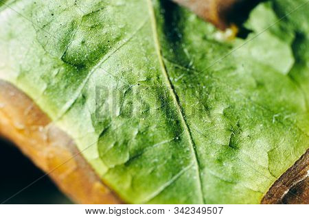 Dead Dry Coffee Plant Leaf With Yellowing Edge. Macro. Structure Of Leaves. Veins, Midribs. Very Sha