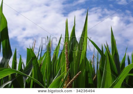 Tassle Corn Leaves Point Into Blue Sky Clouds