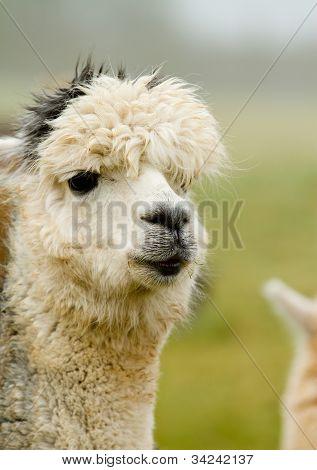 A white and grey Alpaca