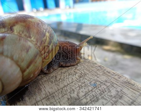 Big Snail In Shell Crawling On The Wood, Summer Day In Garden, A Garden Snail Is Looking For Food, E