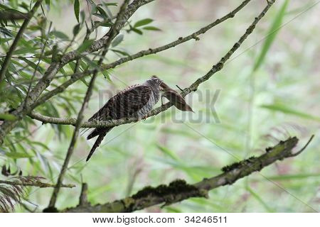Common Cuckoo, Cuculus canorus and European Reed Warbler