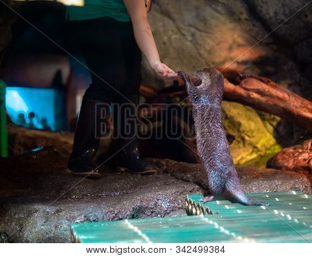 An Oriental Small-clawed Otter / Aonyx Cinerea / Asian Small-clawed Otter At Sealife Ocean World Ban