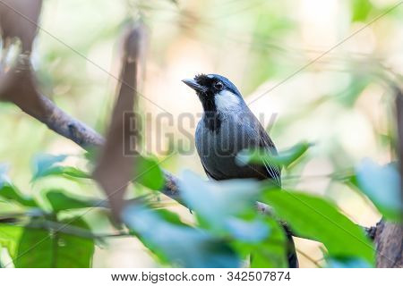 Bird (black-throated Laughingthrush, Garrulax Chinensis, Pterorhinus Chinensis) Is A Species Of Bird