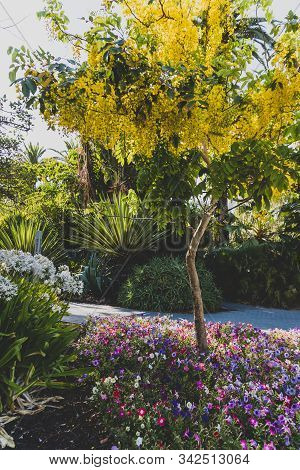 Golden Shower Tree Or Cassia Fistula Plant In Full Bloom Among Other Plants In Lushy Public Garden