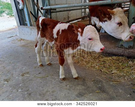Fattening Farm. Big Head Animal, Cattle Breeding. Red Meat And Milk Production