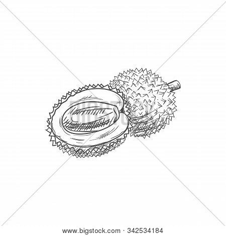 Litchi Isolated Fruit Tropical Dessert Sketch. Vector Lychee Whole And Peeled Half, Exotic Food