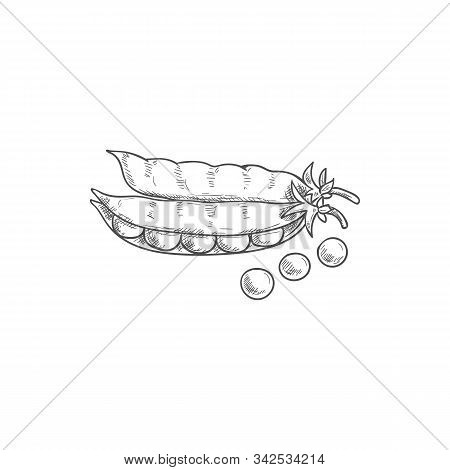 Seeds And Pea Pods Isolated Green Legume Sketch. Vector Vegetarian Food, Beans And Grains