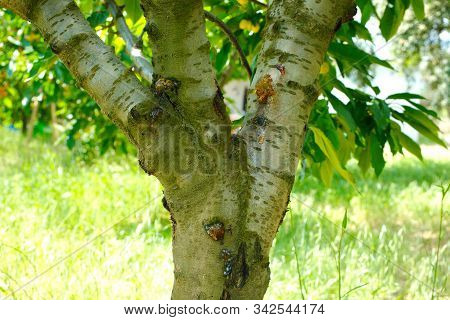 Cherry Tree Disease. Bacterial Cancer And Glue Disease In Cherry Fruit Tree. Fruit Tree Disease