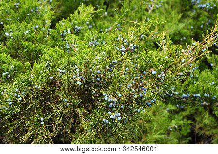 Blue Juniper Berries. Green Juniper With Juniper Berry. Juniperus Excelsa Or Greek Juniper Blue Berr