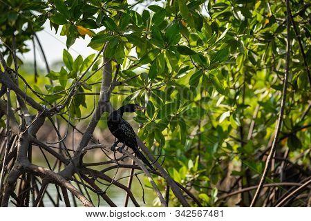 Gambia Mangroves. Black Cormoran Bird. Green Mangrove Trees In Forest. Gambia.