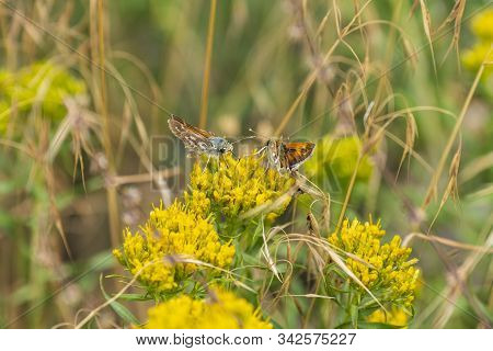 Fiery Skipper Butterflies Feeding On Flowers In Great Basin National Park In Nevada
