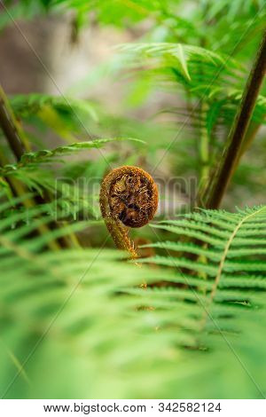New Fern Leaf Unfolding - Green Foilage Of Tree Fern.soft Green Foreground Of Fern Leaves With New L