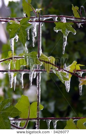 Icicles On Leaves