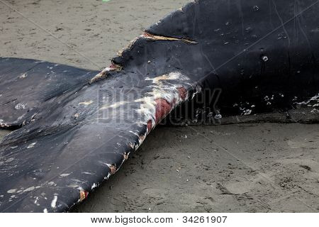 Humpback Whale Washes Ashore And Died