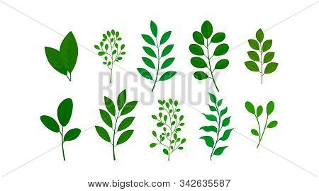 Plant Elements Of Herbs, Leaves.botanical Set Of Wild And Garden Foliage Grass Branches For Wedding
