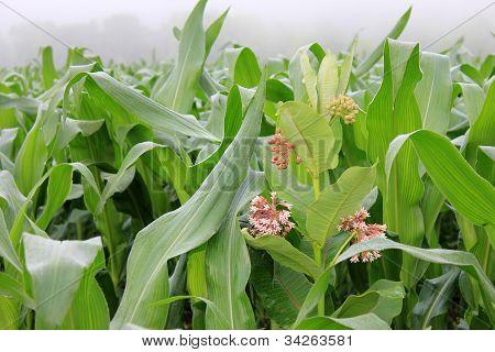 Misty summer morning and cornstalks
