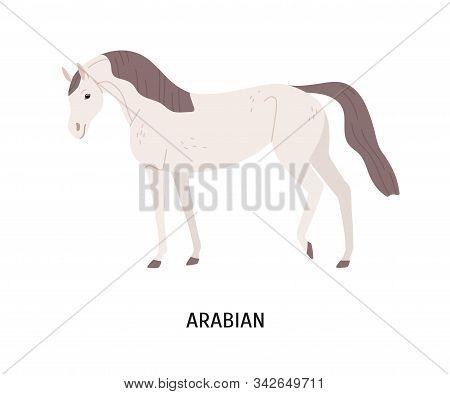 Arabian Horse Flat Vector Illustration. Beautiful Equine, Thoroughbred Palfrey, Saddle-horse. Hoss B
