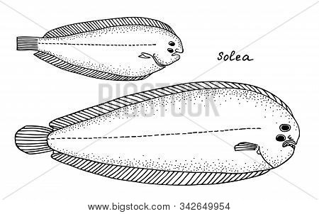 Sole Fish. Black Hand Drawn Realistic Outline Vector Image.
