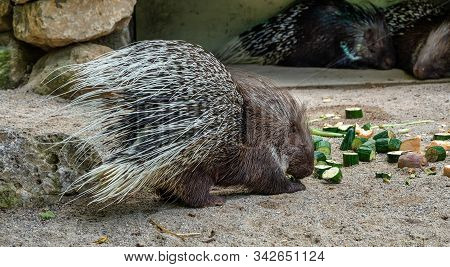 Indian Crested Porcupine, Hystrix Indica In A German Zoo