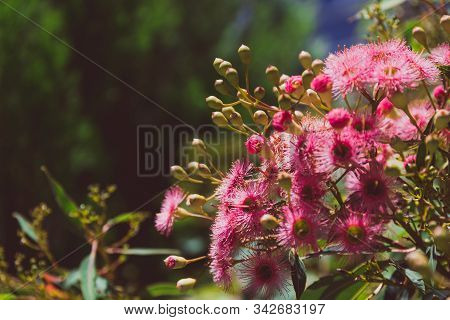 Bright Pink Gum Tree Flowers Shot At Shallow Depth Of Field