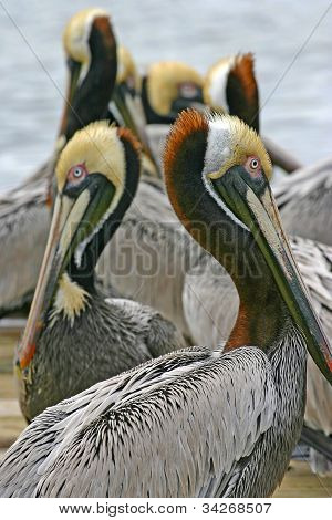 Pelicans like curved neck mirror images on a dock poster