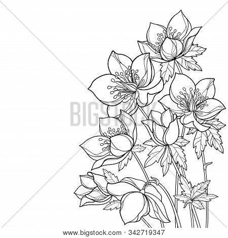 Vector Corner Bouquet With Outline Hellebore Or Helleborus Or Winter Rose, Bud And Leaf In Black Iso