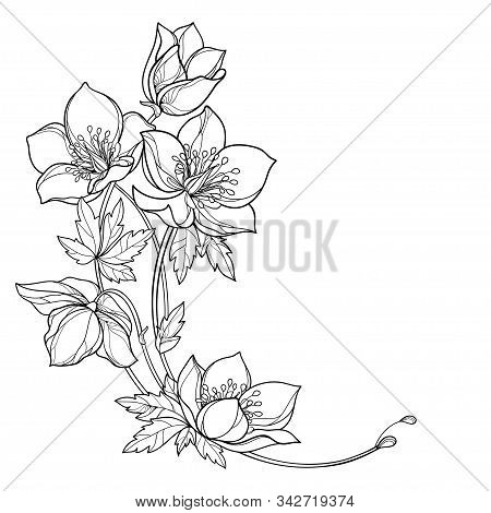 Vector Round Corner Bouquet With Outline Hellebore Or Helleborus Or Winter Rose, Bud And Leaf In Bla