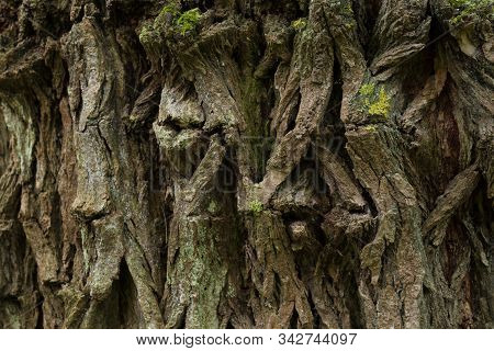 Closeup Of The Bark Of A Siberian Elm, Also Known As The Asiatic Elm And Dwarf Elm. The Tree Has Con